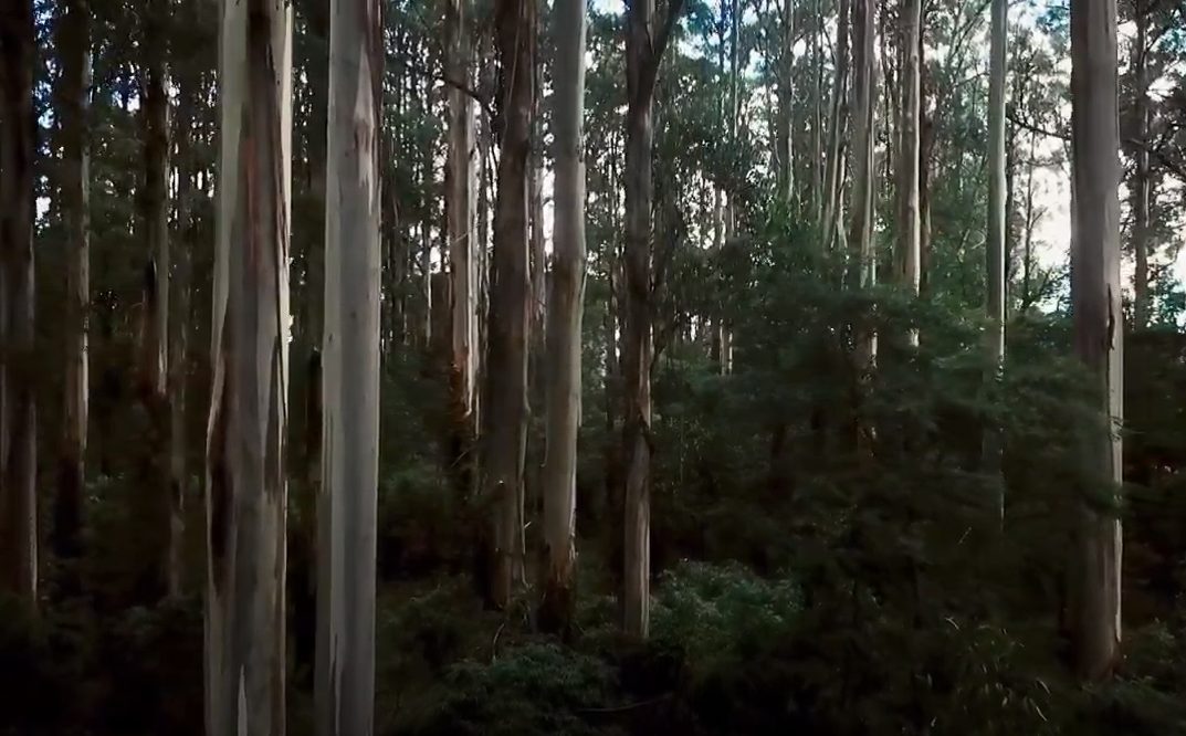 Reseeding Giants - reseeding the Ash forests