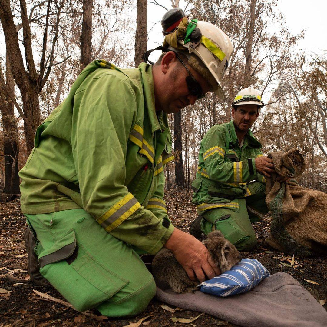 A koala being held during a planned burn